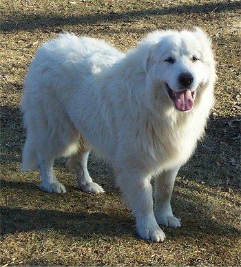 Guardian Dogs For Sale Alberta